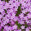 Herbs - Common Centaury