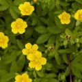 Remedies with Potentilla