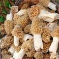 Types of Mushrooms - Common Morel
