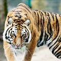 Chinese Horoscope - Feng Shui Horoscope 2014 for the Tiger