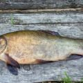 Fish and Seafood - Tench