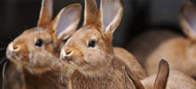 Year of the Rabbit 2013 Predictions - Feng Shui Horoscope 2014 for the Rabbit
