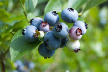 Blueberries protect against colon cancer