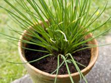 Planting and Growing Chives