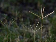 Folk Medicine with Bermuda Grass