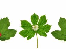 Goldenseal Gets Rid of Cold and Flu