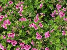Get Rid of your Irritating Cough with Geranium
