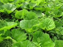 Common Butterbur