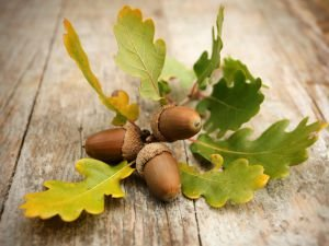 Here`s Why Everyone Should Have an Acorn Amulet
