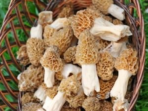 Common Morel