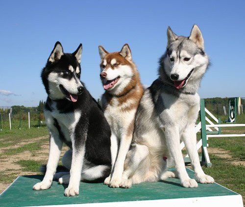Husky Dogs For Sale Seattle