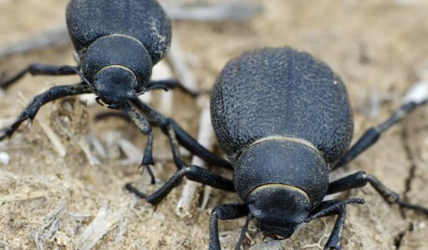 Namib Beetles
