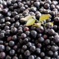 Bilberries - the Most Potent Antioxidant