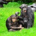 Monkeys - Chimpanzees Communicate with 19 Gestures