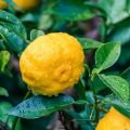 A Lesser Known Citrus Fruit: Yuzu