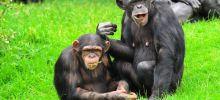 Moles and Their Hidden Meanings - Chimpanzees Communicate with 19 Gestures