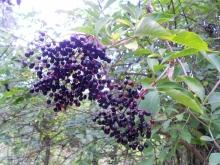 The Healing Power of Black Elder