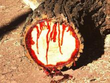 Astonishing Tree Bleeds When Cut
