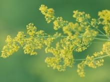 Folk Medicine with Lady's Bedstraw