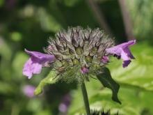 Clinopodium - Wild Basil