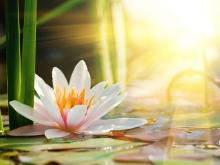 The Magical Powers of the Lotus Flower