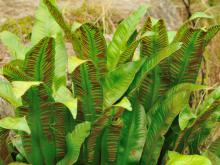 Hart's-Tongue Fern Treats Coughing