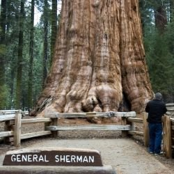 General Sherman Tree -  General Sherman Tree