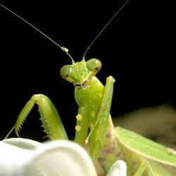 Why Shouldn't I Ever Kill a Praying Mantis?