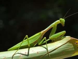 Superstitions about praying mantises