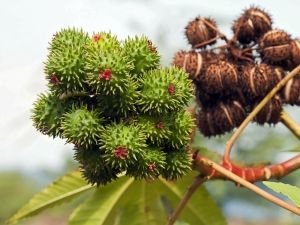 Chestnuts Shield us from Negative Energy