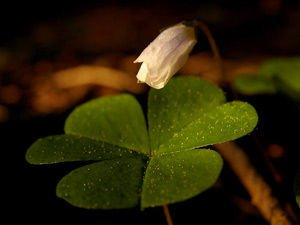 Why are Four-Leaf Clovers Considered Lucky?