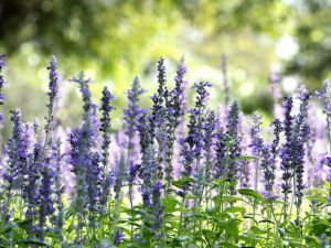 Culinary Use of Hyssop