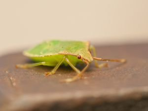 Don't Kill Stink Bugs in your Home, They Bring Luck!