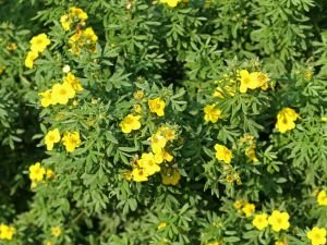 Potentilla remedies
