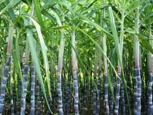 Growing Sugarcane