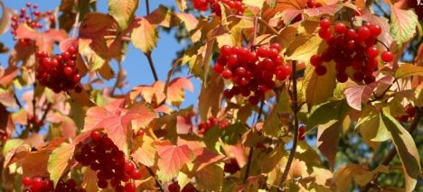 Guelder Rose Shrub