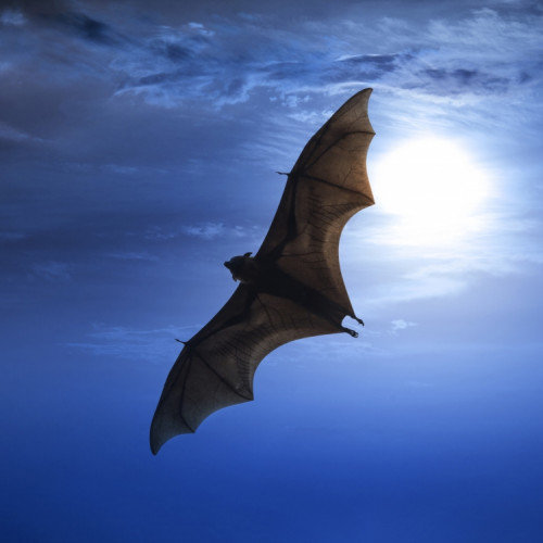 What Does it Mean if a Bat Flies Into your Home?