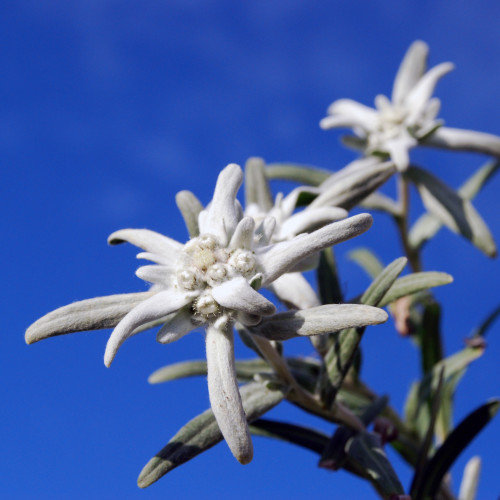 Legends of the Edelweiss Flower