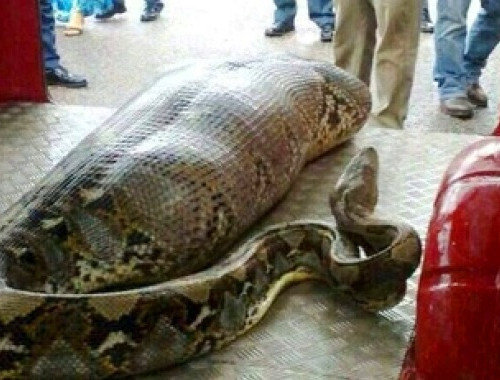 Indian Man Sleeping in the Street Swallowed by a Python