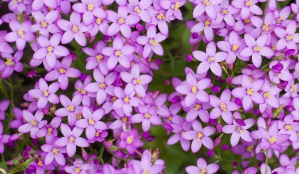 Common Centaury Herb