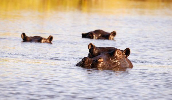 Okavango River Wildlife